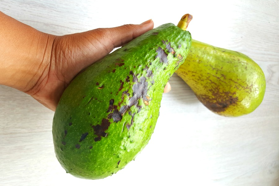 Surinaamse avocado