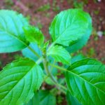 superfoods-van-suriname-tulsi