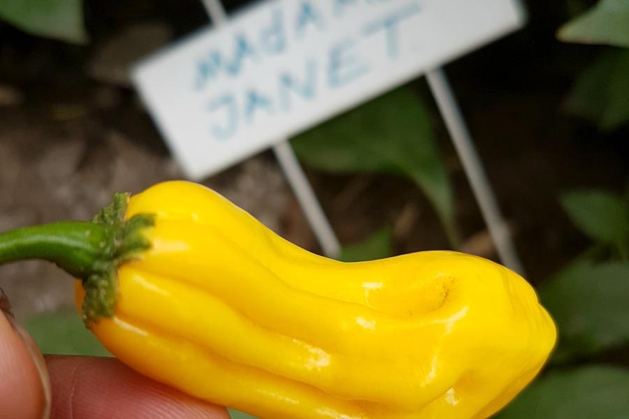organic Surinamese pepper madame Jeanette